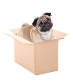 Pug dog sitting in brown carton box isolated on white Stock Images