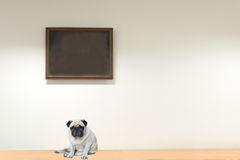 Pug Dog Sitting on the floor Royalty Free Stock Images