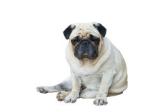 Pug Dog Sitting on the floor Stock Photography