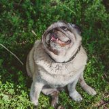 A pug dog is sitting on the grass and looking up