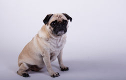 Pug dog sitting Royalty Free Stock Images