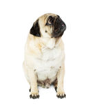 Pug Dog Sitting Looking Side and Up Royalty Free Stock Images