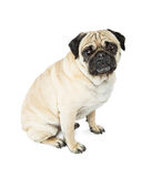 Pug Dog Sitting Side Looking Forward Stock Photo