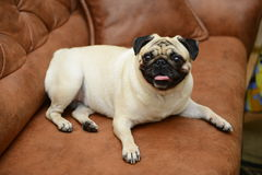 Pug dog sitting on the sofa Royalty Free Stock Photo
