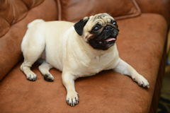Pug dog sitting on the sofa Royalty Free Stock Image