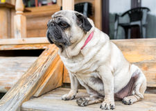 Pug dog sitting on the wooden floor Stock Photos