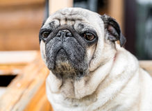 Pug dog sitting on the wooden floor Royalty Free Stock Images