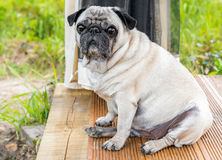 Pug dog sitting on the wooden floor Royalty Free Stock Photo