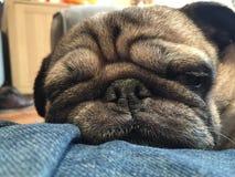 PUG DOG SLEEPING CLOSE up stock image