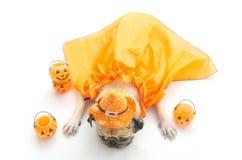 Pug dog sleeping on the ground with funny halloween costume stock photo