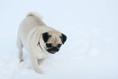 Pug dog in snow Stock Images