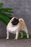 Pug dog standing Royalty Free Stock Photo