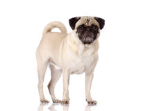 Pug dog standing. On reflective surface on white background Stock Photography
