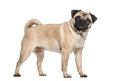 Pug dog standing  against white background. Isolated on white Royalty Free Stock Image