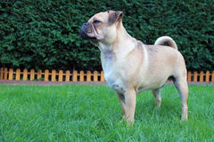 Pug dog standing on grass landscape Royalty Free Stock Images