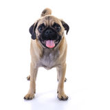 Pug dog standing over white Stock Photos