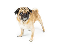 Pug Dog Standing on White Looking Side Stock Photos