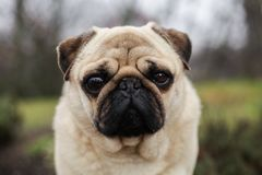 Pug the dog. It stands on the road. The dog looks into the lens royalty free stock photo