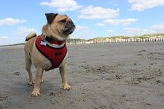 Pug Dog stood on a sandy beach Stock Images