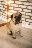 Pug dog. Studio photo on a brick background Royalty Free Stock Images