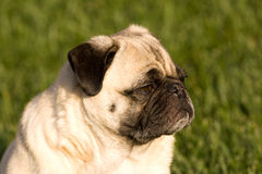 Pug dog in the sun. Here is a photo of a pug dog sitting in the grass enjoying the sun Stock Photo