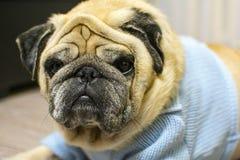 Pug dog in sweatshirt funny portrait. stock photography