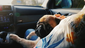 A pug dog travels in a car on his lap beside the mistress. We travel together with your favorite pet