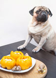 Pug Dog tries not to look at the delicious food. Royalty Free Stock Photo