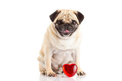 Pug dog  und heart isolated on white background with love concept Stock Photography