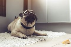 Pug dog waiting for a permission to eat cheese on the kitchen. Training of a patience Royalty Free Stock Photo
