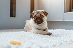 Pug dog waiting for a permission to eat cheese on kitchen. Hungry pug dog puppy training self-control. Pug dog waiting for a permission to eat cheese on the stock photos