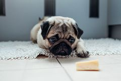 Pug dog waiting for a permission to eat cheese on the kitchen. Training of a patience Stock Images