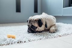 Pug dog waiting for a permission to eat cheese on the kitchen. Training of a patience Stock Photo