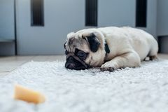 Pug dog waiting for a permission to eat cheese on the kitchen. Training of a patience royalty free stock image