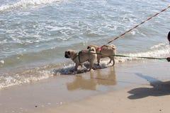 Pug dog walk in the sea. stock photos