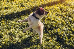 Pug dog walking in spring forest. Puppy having fun among yellow flowers in the morning. Dog jumps to catch food. With tongue hanging royalty free stock photos