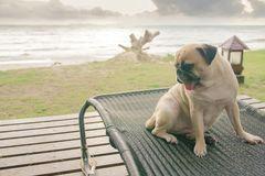 Pug dog watching the summer vacation view on the beach, thinking Royalty Free Stock Image