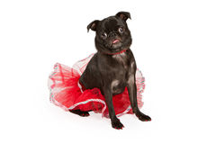 Pug dog wearing a pretty red tutu Royalty Free Stock Photos