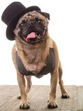 Pug Dog Wearing a Top Hat and Vest stock image