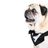 Pug Dog Wearing Tuxedo Closeup Square Royalty Free Stock Photos