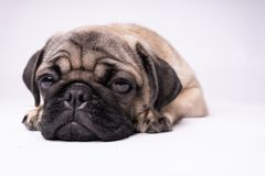 Pug, dog on white background. Cute friendly fat chubby pug puppy. Pets, dog lovers, isolated on white. stock images