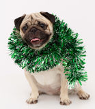 Pug dog  in white Stock Photography