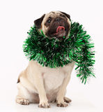 Pug dog  in white Stock Images