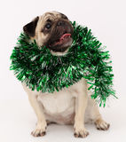 Pug dog  in white Royalty Free Stock Images