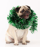 Pug dog  in white Royalty Free Stock Photography