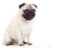 Pug dog on white. Happy dog photographed in the studio on a white background stock images