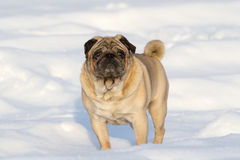Pug dog on white snow Royalty Free Stock Photography