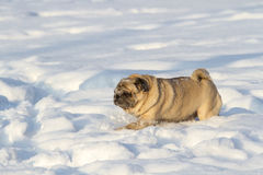 Pug dog on white snow Stock Images