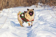 Free Pug Dog With Christmas Elf Costume Run On A Snow At Cold Winter Day Stock Image - 155480291
