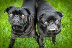 Pug dogs Royalty Free Stock Image